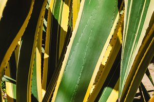 large stems of leaves of a tropical plant. texture and background.