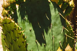 tropical blooming cactus. texture of thorns.