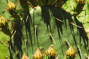 flowering cactus. large spines.
