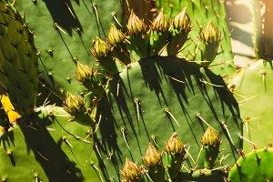 cactus. cactus texture. large spines. flowering cactus