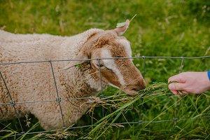 Man feeds the sheep grass