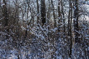 Twigs of tree covered of hoarfrost and snow on background of winter forest in snow.