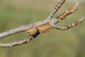 Ootheca mantis on the branches of a