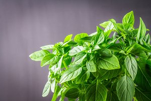 A bunch of green lemon basil on a dark gray concrete background.