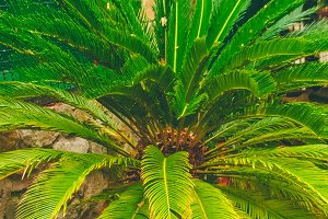 Bush of a fern in a tropical garden