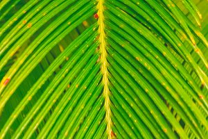 Texture of a palm tree. Bright leaves.