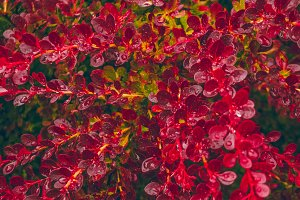 Drops of water on the leaves of barberry