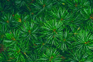 Needles of pine. macro.