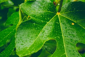 Texture of leaves. Clean water drops