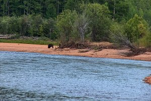 The bear walks along the river bank. Taiga in Yakutia.