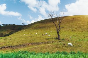 Feeding cows and dry tree, backdrop