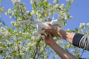 Quadrocopter DJI Phantom 4 is on the branch of blooming cherry plum.