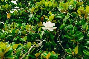 Flowering magnolia. White flower