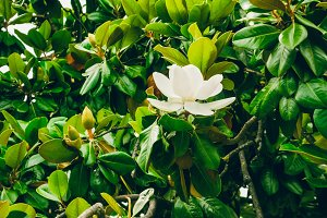 A magnolia flower, green leaves. texture
