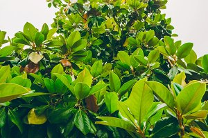 Green leaves of magnolia.