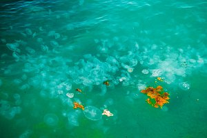 Many jellyfish. Turquoise water. ocean