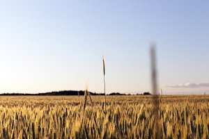 agricultural field, cereals