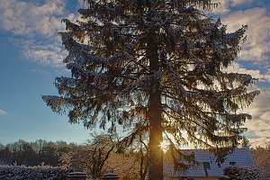 Snowy tree in backlight at sunrise