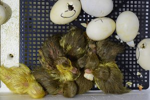 Musk duck ducklings hatched from eggs