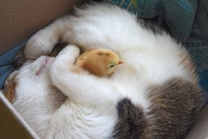 Cat warms chicken