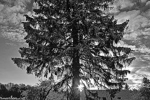 Snowy tree in backlight at sunrise