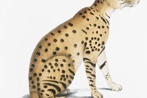 Beautiful Cat (Felis ornata) (PSD)