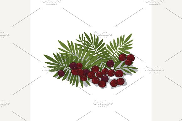 Isolated clipart Acai Palm in Illustrations