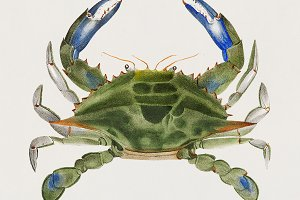 Blue crab (PSD)