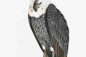 White-backed Vulture (PSD)