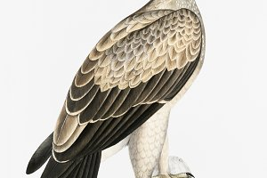 White Dotted Eagle (PSD)