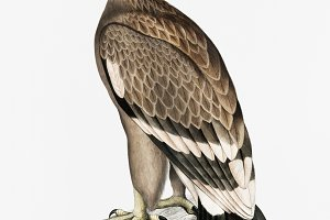 White-banded Eagle (PSD)