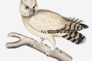 Coromandel Owl (PSD)