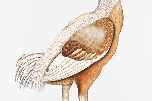 Malabar Cock (PSD)