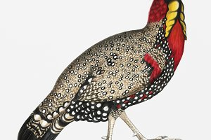 Black head Horned Pheasant (PSD)
