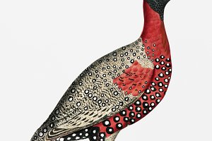 Black headed Pheasant (PSD)