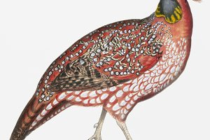Chinese Horned Pheasant (PSD)