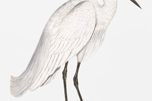 Indian white Heron (PSD)