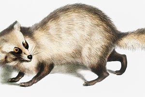 Racoon-faced Dog (PSD)