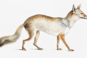 Bengal Fox (PSD)
