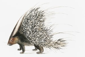 Indian Crested Porcupine (PSD)
