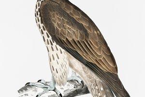 Cherrug Falcon (PSD)