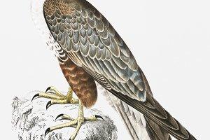 Jugger Falcon (PSD)