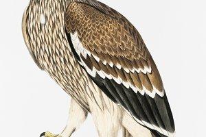 Golden Eagle, Female (PSD)
