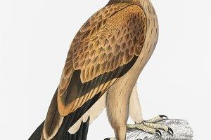 Tawny Eagle (PSD)