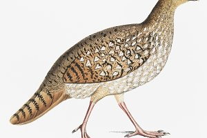 Nepaul Horned Pheasant, Female (PSD)