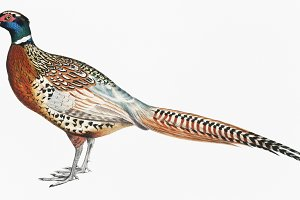 Chinese Ring Necked Pheasant (PSD)