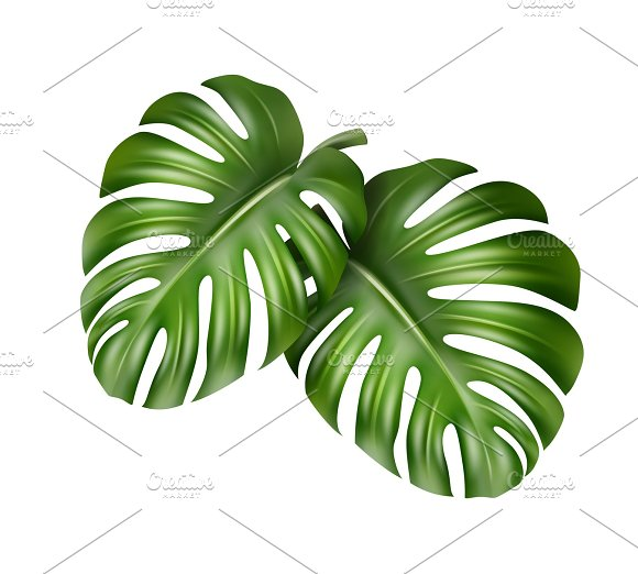 Two Monstera leaves