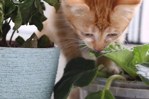 naughty red kitten ruined pot plants close up photo