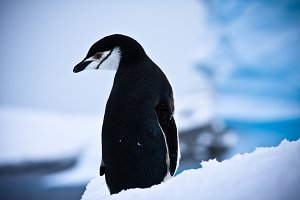 black and white penguin