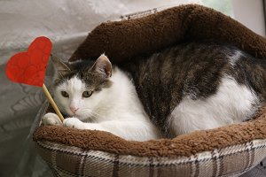 funny photo of cat in pet bed with paper heart